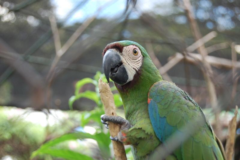 Попугай каштановолобый ара крупным планом фото