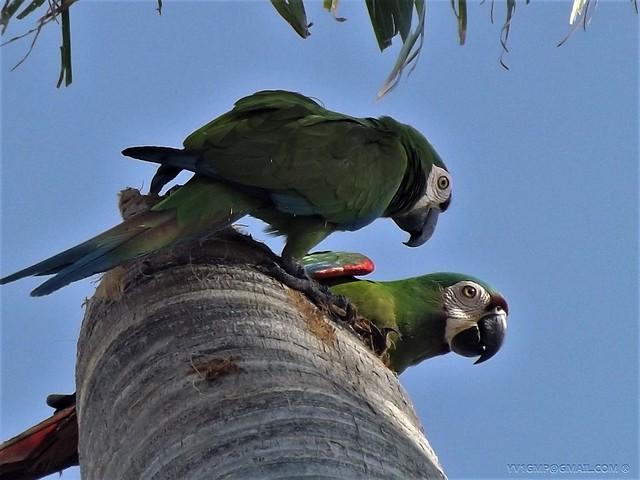 Пара каштановолобых ара на дереве попугаи фото