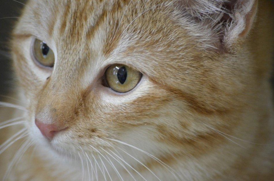 Рыжий кот крупным планом фото