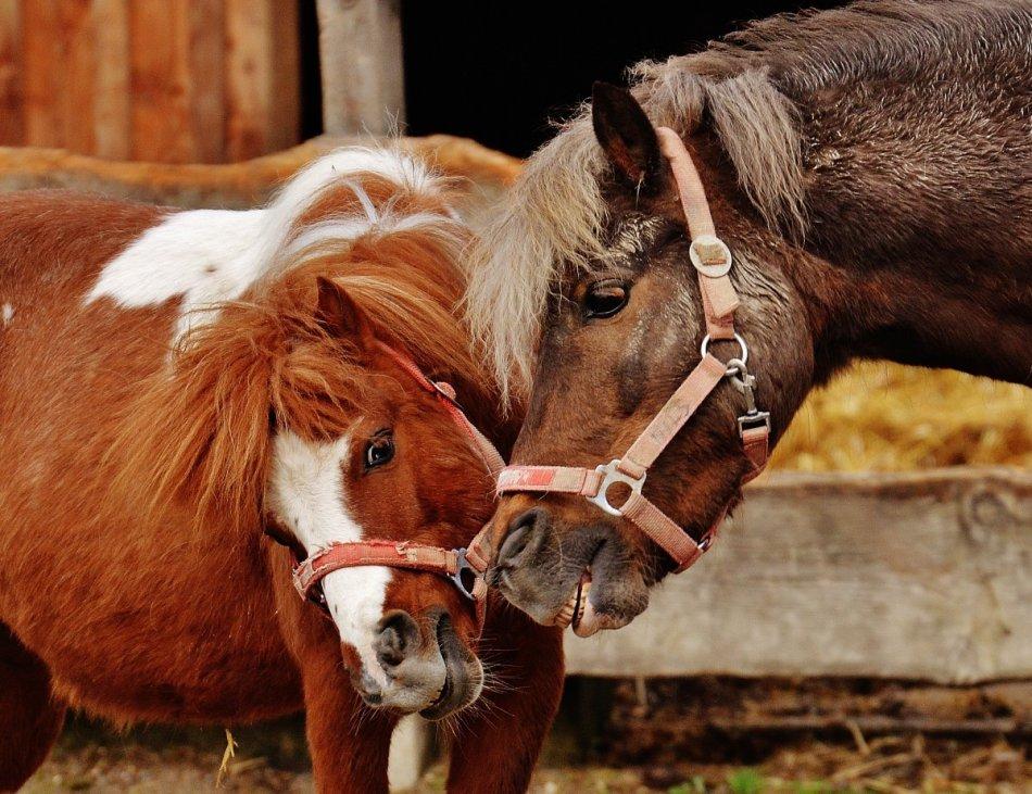 Две пони лошади общаются фото