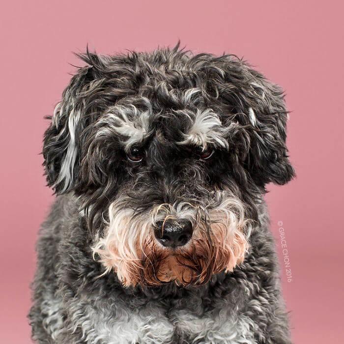 лохматый пес, груминг