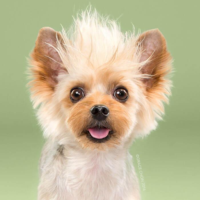 маленькая собака, груминг, стиль, стрижка