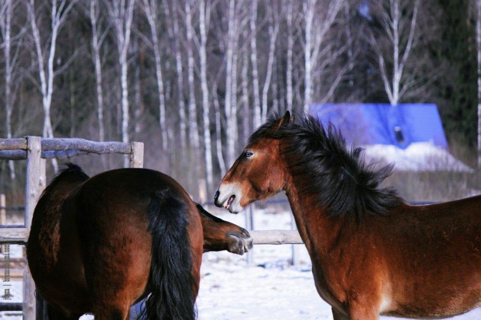 Две лошади играют в леваде зимой фото