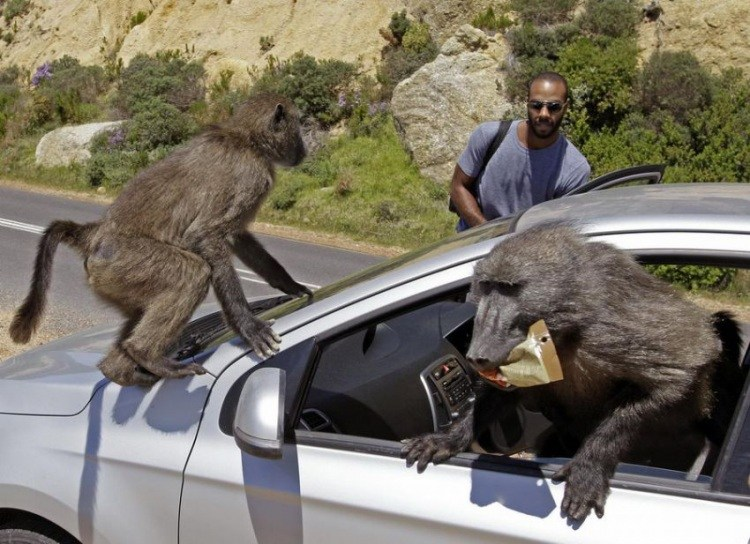 Бабуины ограбили машину в Африке фото