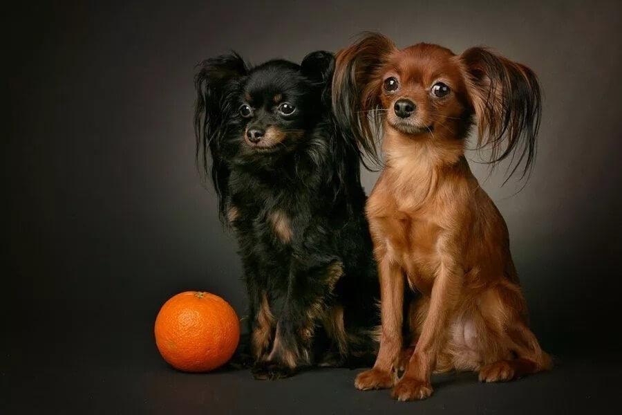 маленькие собаки, апельсин, домашние животные