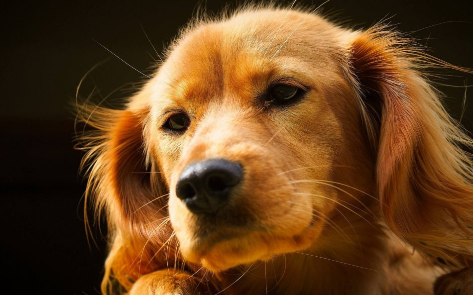 рыжая собака, спаниель, питомец