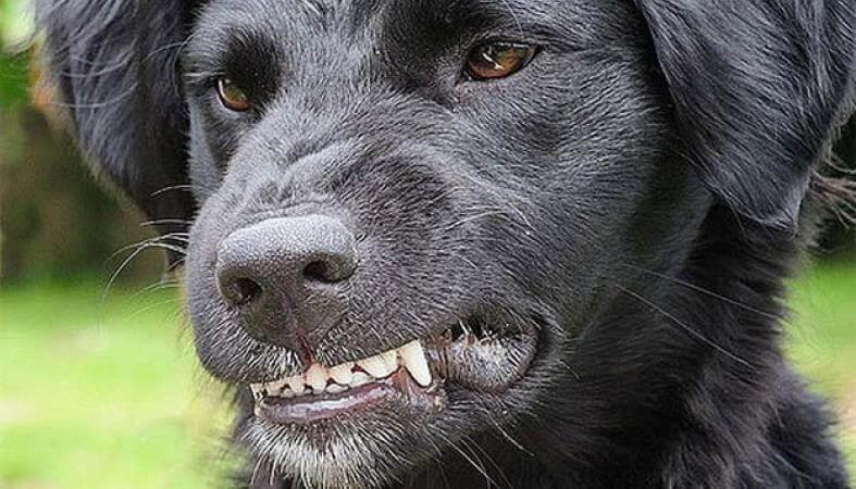 собака злится, хочет укусить