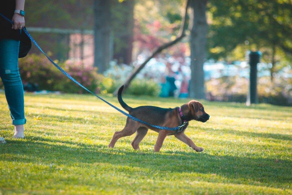 Щенок гуляет на поводке в парке фото