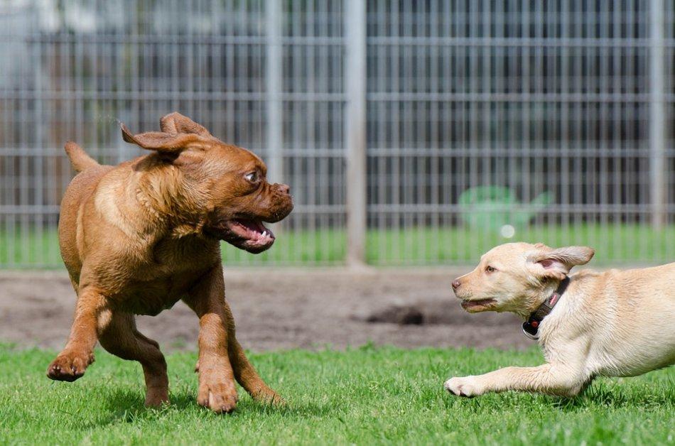 Щенок бордосского дога играет с другим щенком фото