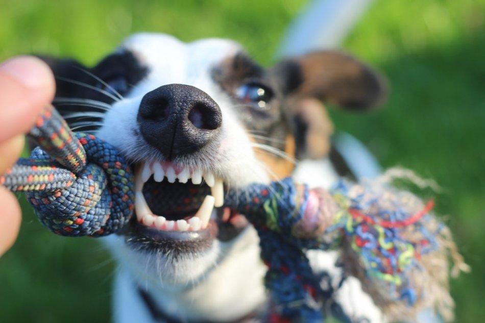 Собака играет в перетяжки фото