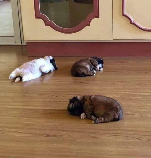 щенки, домашнее животное, собака, порода ши-тцу
