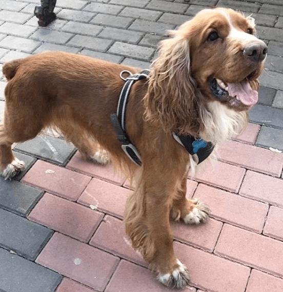 спаниель, собака, домашний питомец, шлейка, улица
