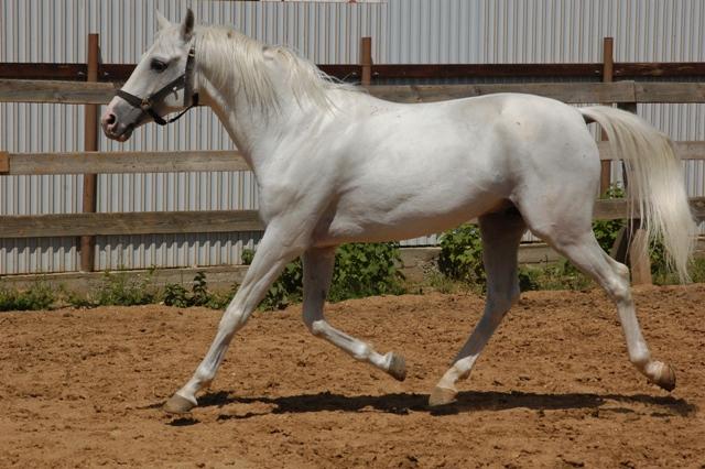Терская лошадь бегает в леваде фото