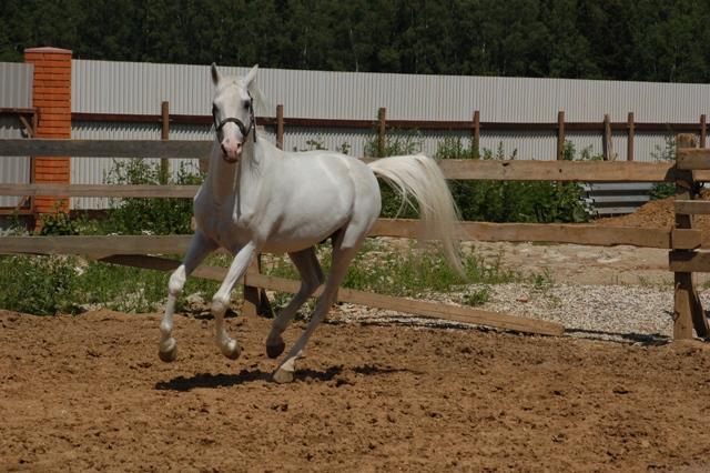 Терская лошадь скачет в леваде фото
