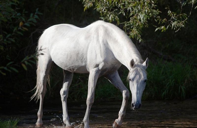 Терская лошадь переходит ручей фото