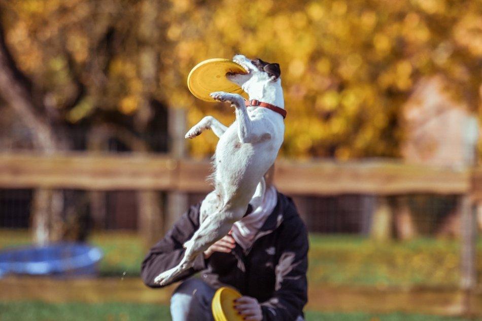 Фризби собака ловит тарелку в воздухе фото