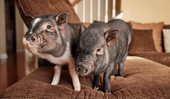 свинья, домашнее животное, диван, софа