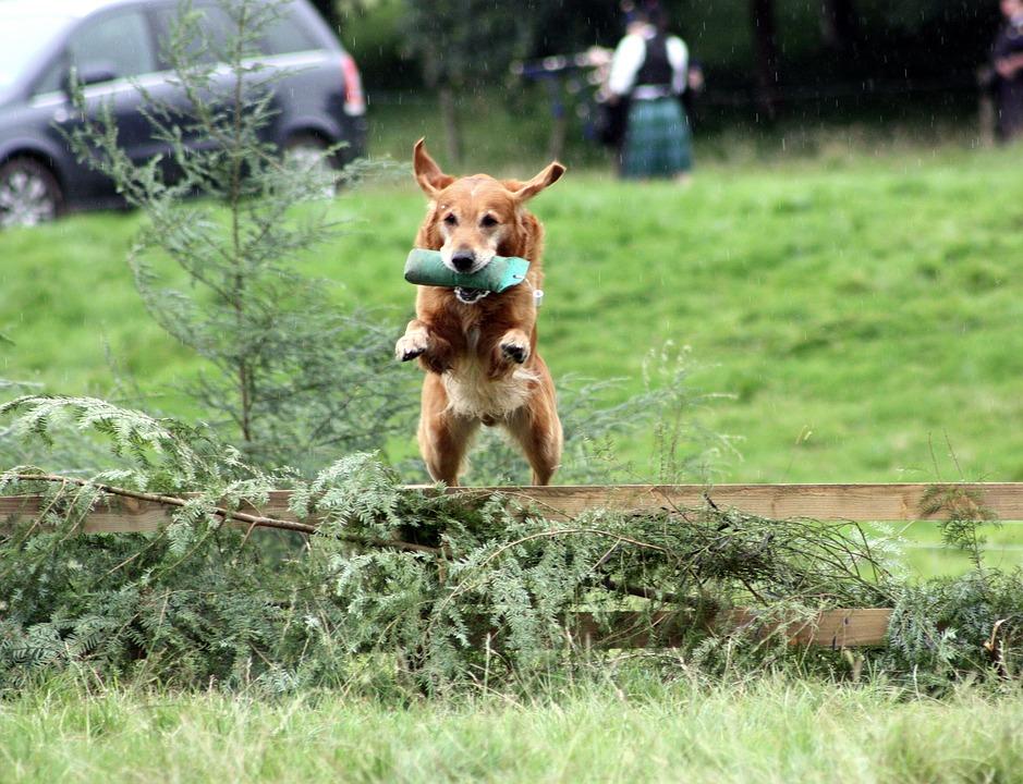 Собака с апортировкой прыгает через барьер фото