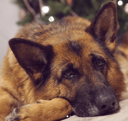 собака, овчарка, пес, домашний питомец, немецкая овчарка