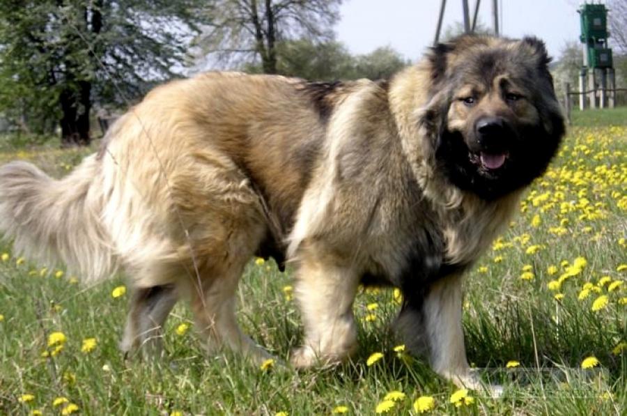 Кавказская овчарка на траве фото