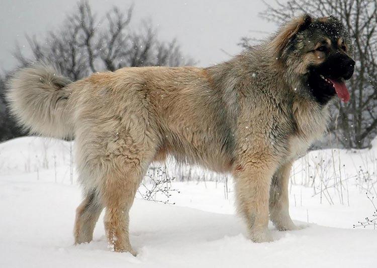 Кавказская овчарка в заснеженном поле фото
