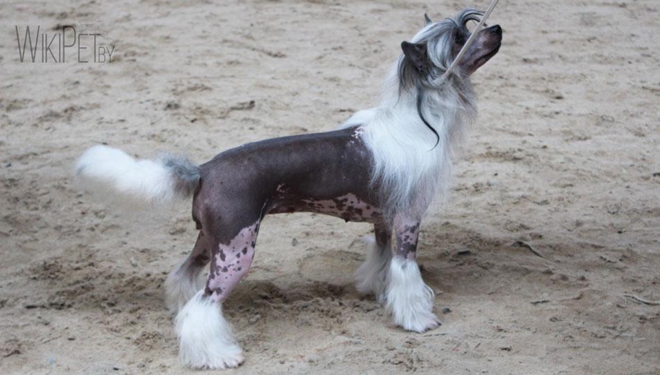 Китайская хохлатая собака без шерсти на выставке фото