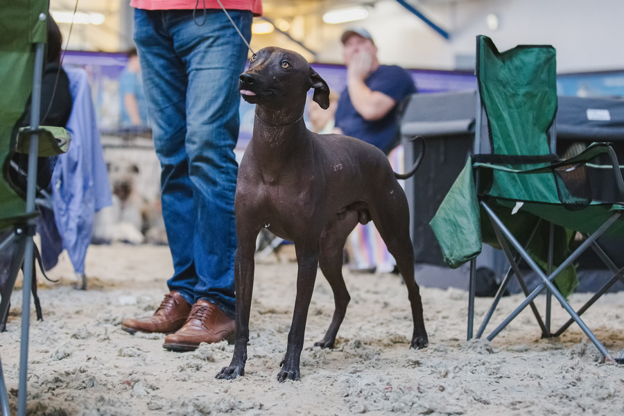 ксолоитцкуинтли (мексиканская голая собака) фото