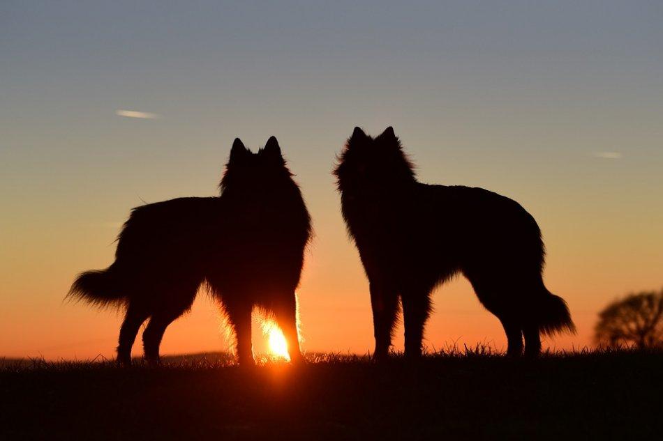 Две собаки на закате солнца фото