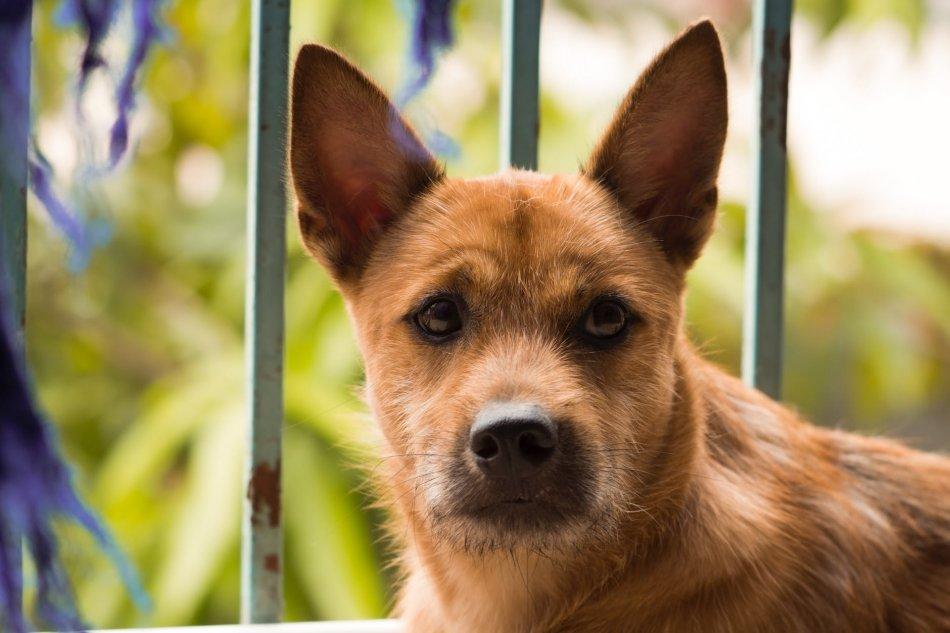 Рыжая жесткошерстная собака смотрит в камеру крупным планом фото