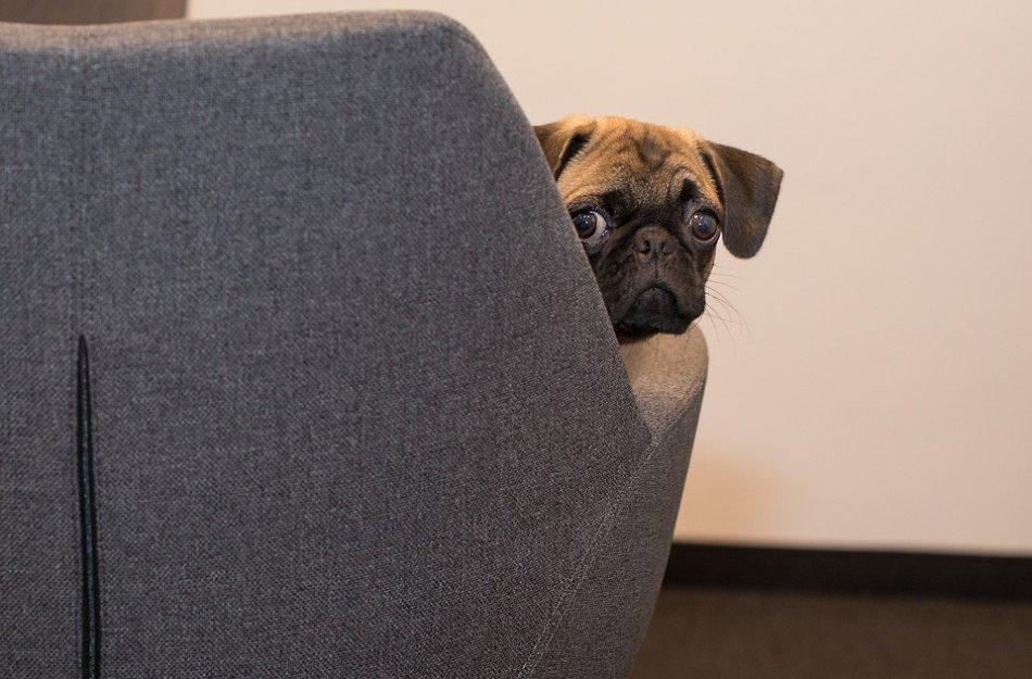 Мопс выглядывет из-за спинки дивана фото