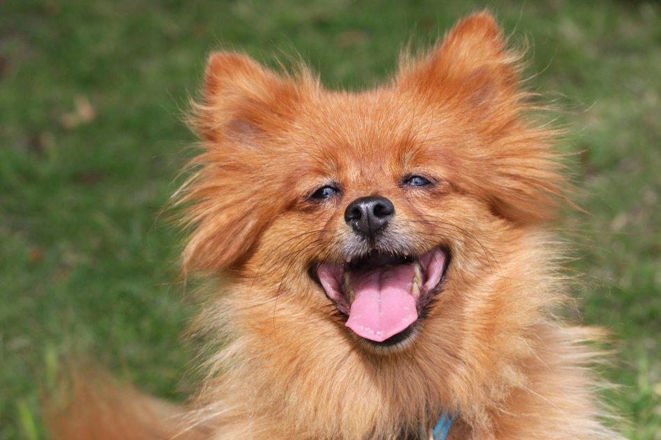 Рыжая пушистая собака улыбается фото