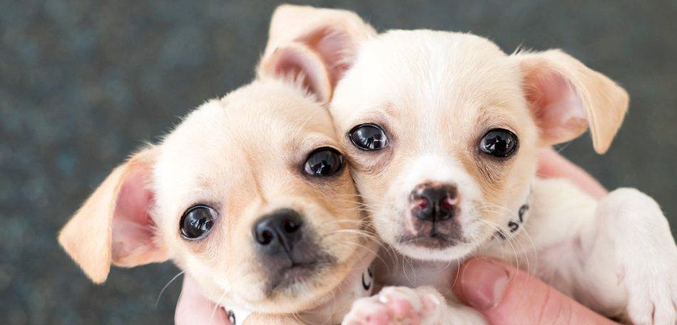 Два щенка в руках прижались друг к другу фото