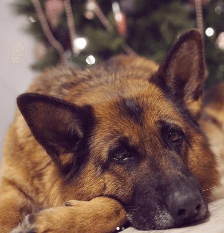 овчарка, собака, домашний питомец