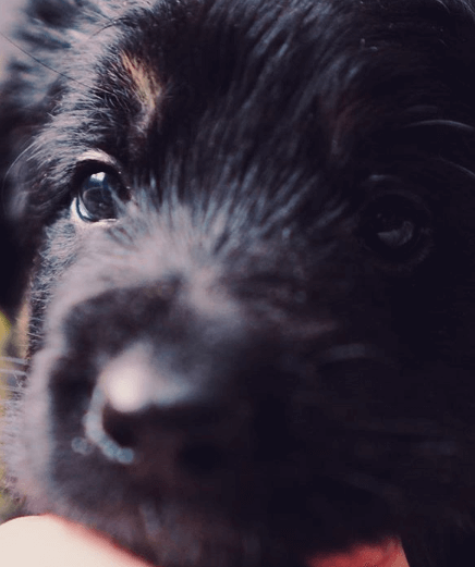 щенок овчарки, пес, питомнц