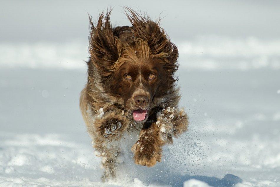 Собака бежит по снегу фото