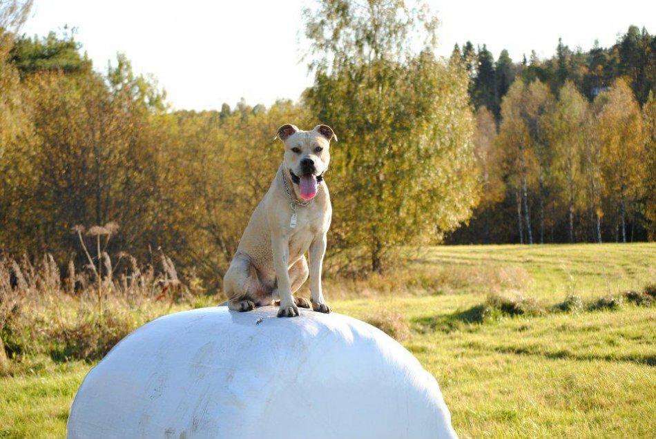 Собака породы ка де бо фото