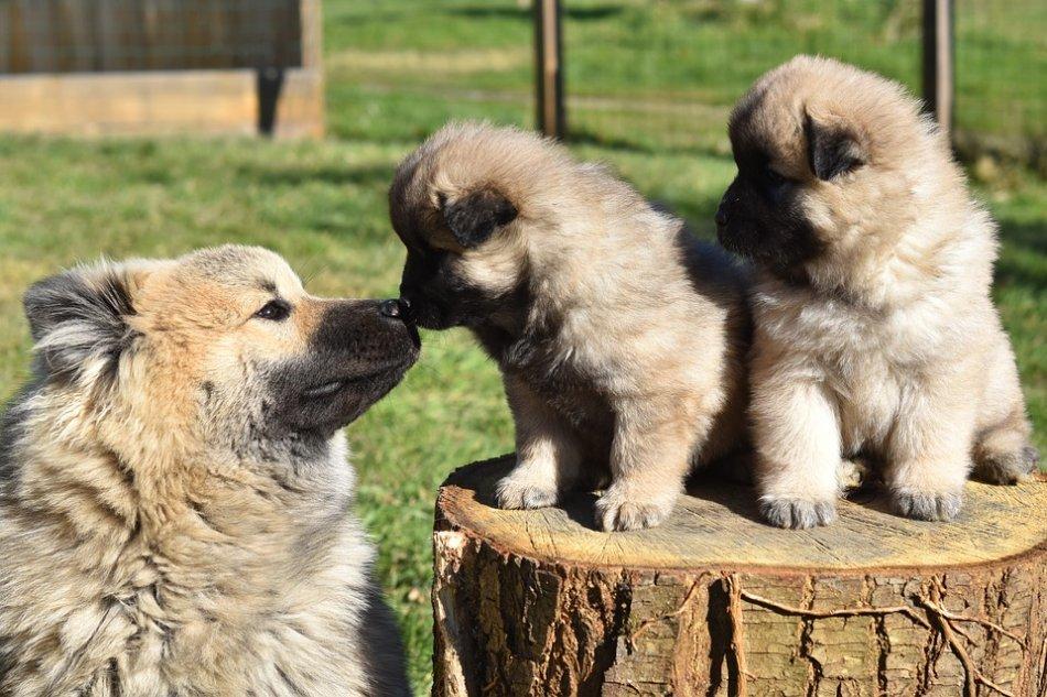 Взрослая собака и щенки фото