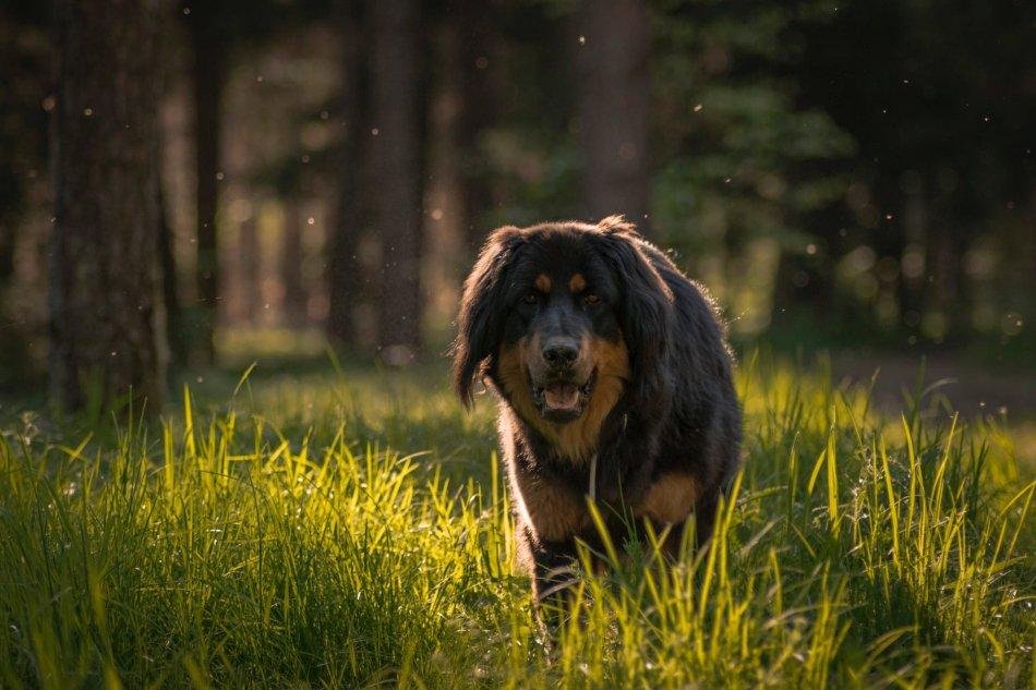 Собака идет по высокой траве фото