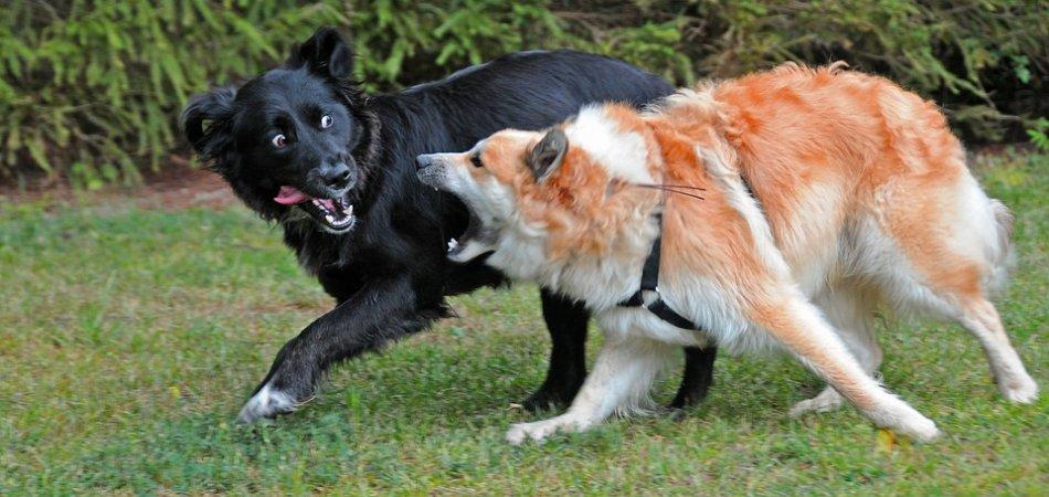 Две собаки рыжая и черная фото