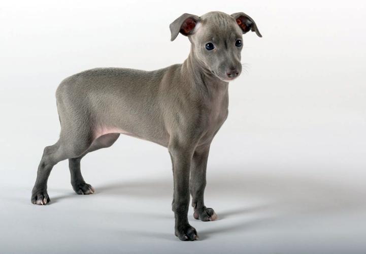 Голубой щенок левретки фото