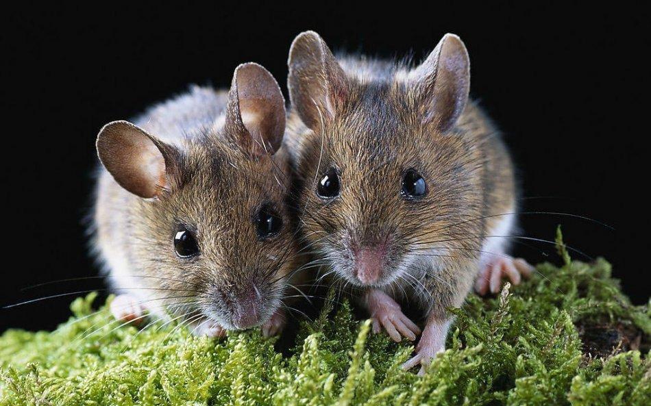 мыши, мышка грызун, серый грызун, мох