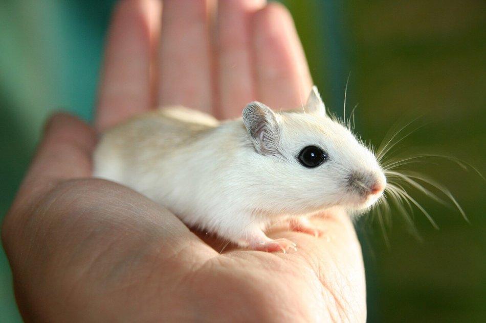 мышь, грызун, рука, белая мышь