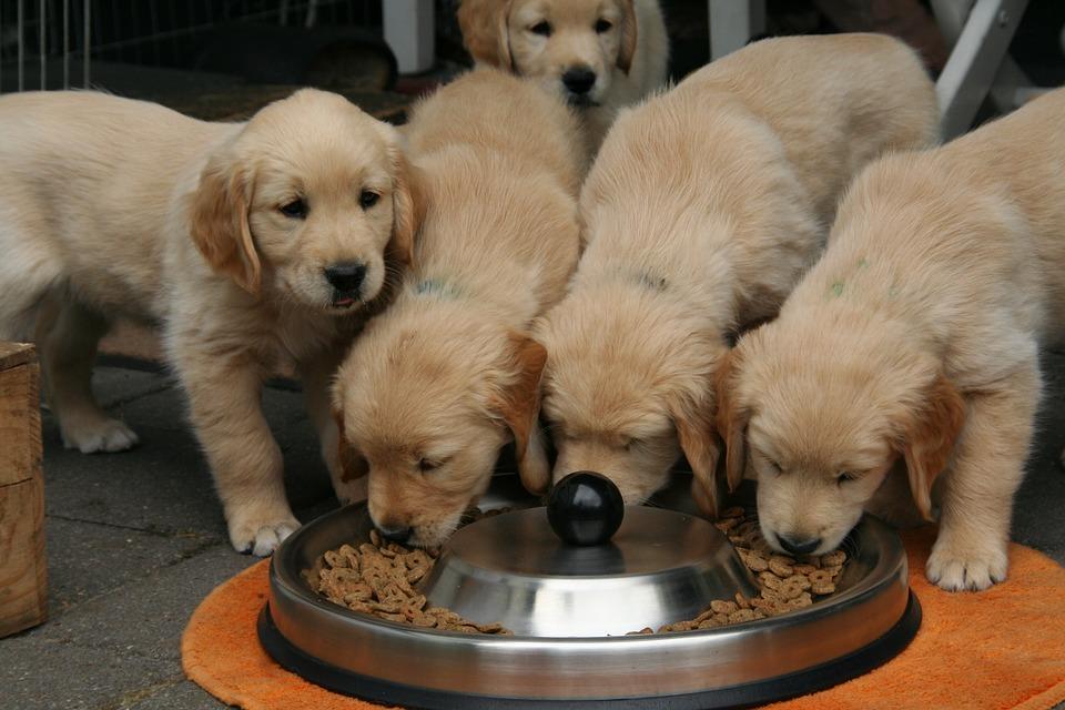 Кормление собак: щенков и взрослых : натуральные и сухие корма. Нормы кормления собак и рацион
