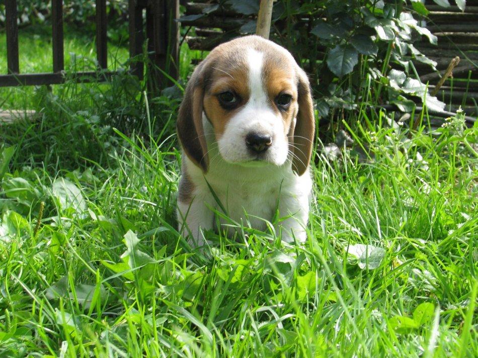 бигль, щенок, улица, трава, питомник