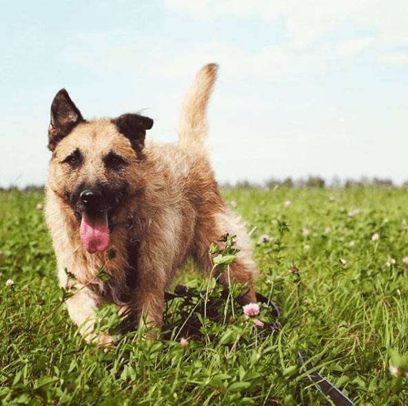 животное, собака, ирландский терьер, метис