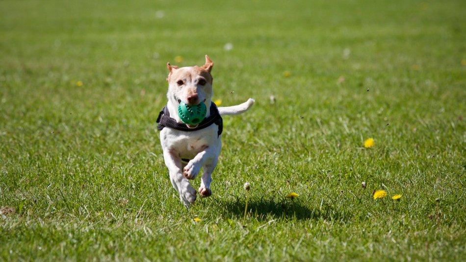 Собака бежит с мячом фото