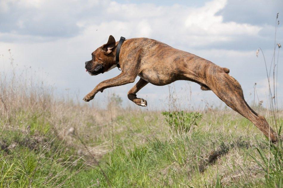 Боксер собака в прыжке фото