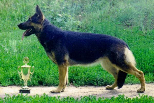 Восточно-европейская овчарка фото