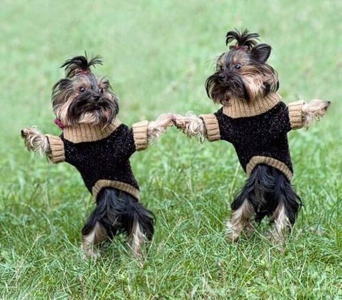 собаки, близнецы, одинаковые собаки