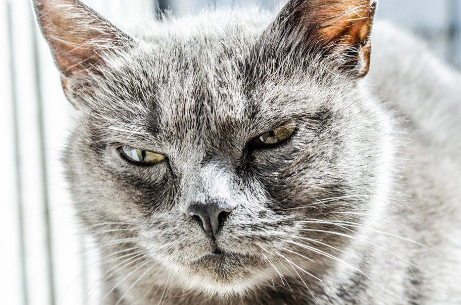 Злая кошка крупным планом фото